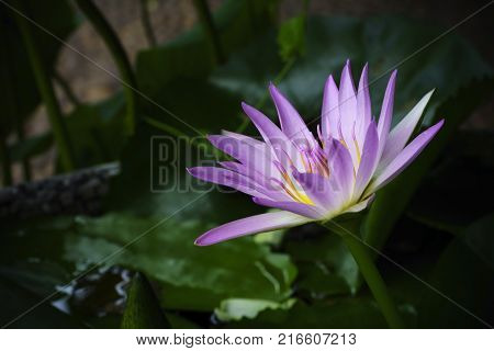 Low key image of beautiful purple water lily