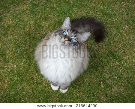 Ragdoll Pedigree Cat (Seal Lynx Tabby Mitted) Sitting Outdoors On A Grass Lawn Looking Up Towards Camera
