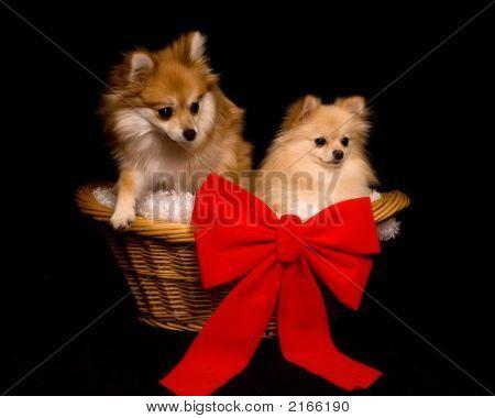 Basketful Of Pomeranians