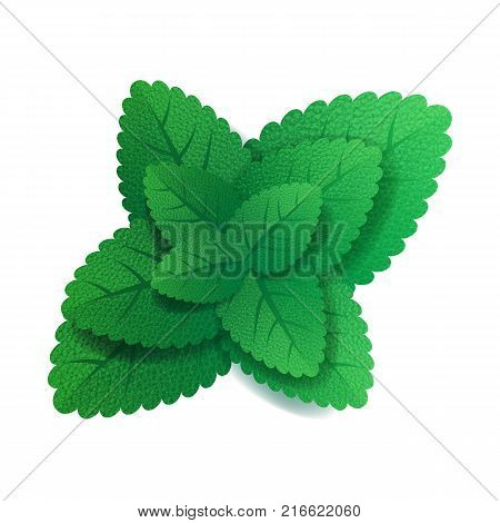 Mint leaves on white background. Menthol aroma.