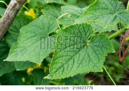 Leaves of cucumber in the garden.Summer August view on abstract green cucumber leaves background pattern texture. Abstract green cucumber leaves background pattern fractal. High resolution green leaves pattern