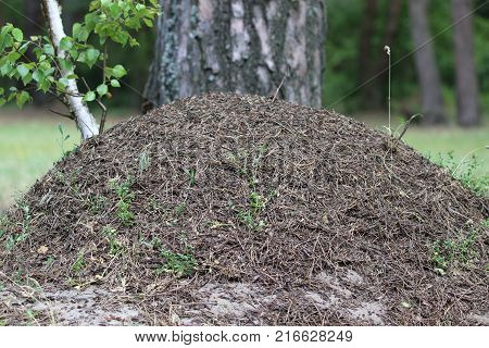A large anthill in the forest. Big anthill in the woods. Big anthill with colony of ants in summer forest. Woods ants builders. Wildlife industrious insects. Ukraine, 2017.