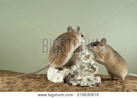 Two spiny mouses in a spacious terrarium with a sandy bottom and a quaint piece of gypsum