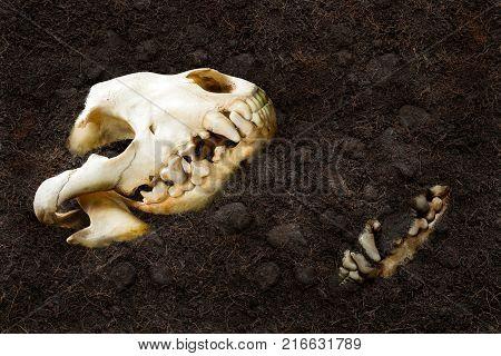 Animal skull bury underground in concept discover of dinosaur fossil