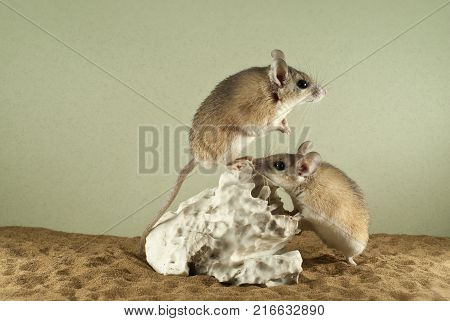 Two spiny mouses in a spacious terrarium with a sandy bottom and a quaint piece of gypsum; one of them tensely peers into the distance
