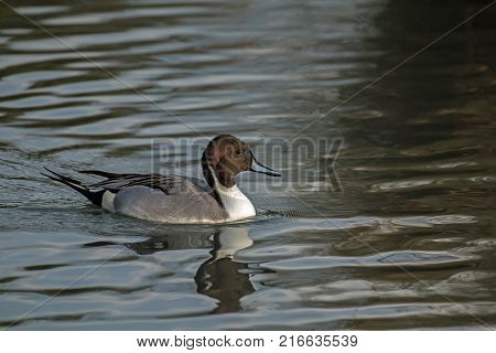 Male Pintail Duck in sunlight with water droplets.