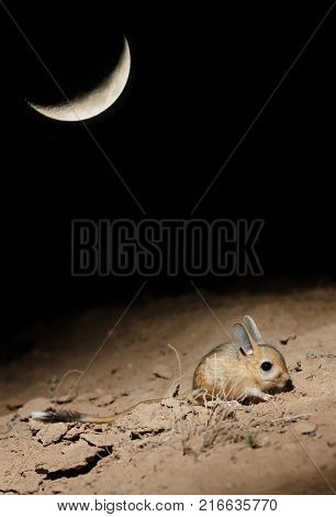 Small five-toed jerboa (Allactaga elater) searching for a food at moonlit night in the desert of southern Kazakhstan
