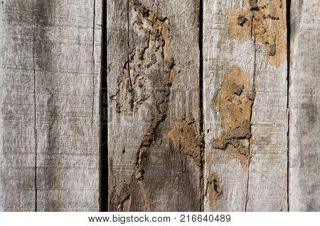 Old wood floor with wood termites.Termites eat wood.