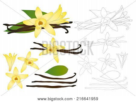 Vanilla Planifolia Flower and Vanilla Pods or Beans Outline. Ice Cream Flavor. Vector illustration. isolated on White Background.