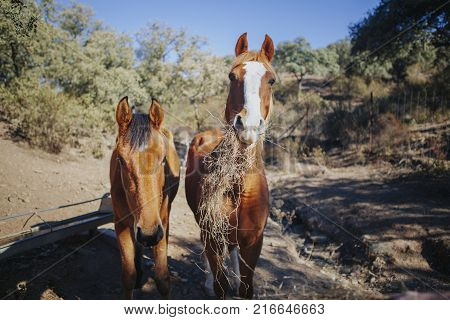 Cute couple of horses pasturing in a sunny day with beautiful blue sky background.