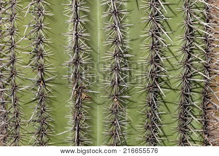 A close up of a saguaro cactus in Arizona