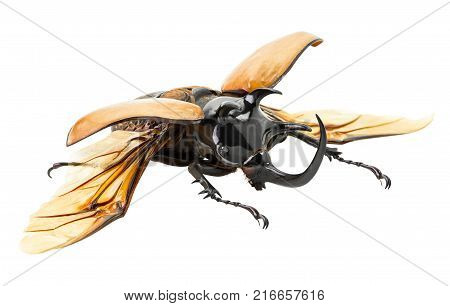 Eupatorus gracilicornis beetle in the act of spread wing isolated on white background with clipping path