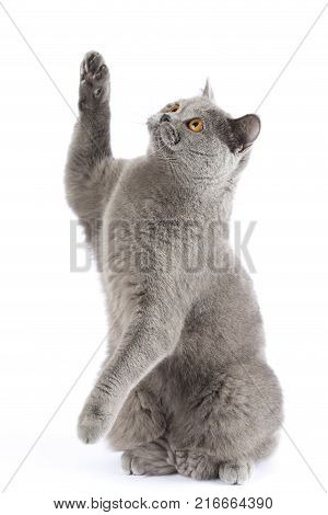 The British cat catches imaginary prey. The cat sits on hind legs. A pet with amber eyes is playing on a white background. The British cat catches the prey on isolation.