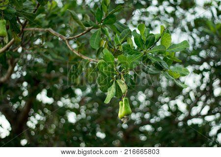 Cashew fruit on the tree.Cashew fruit on the tree.