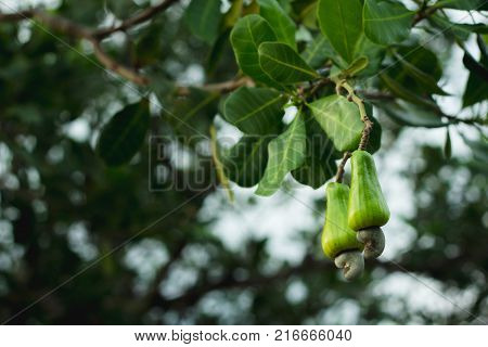 Cashew fruit on the tree.Cashew fruit on the tree.
