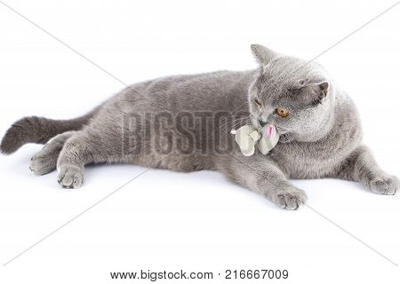 A cat of British breed with a toy gray mouse in the teeth. The cat lies on isolation. The pet is playing with mouse. Cat and mouse on a white background with copy space.