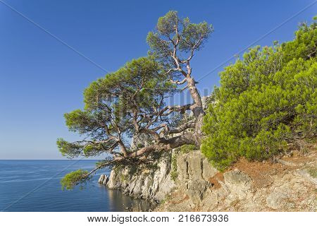 Relict pine with a trunk of a bizarre shape on a steep rocky shore above the sea. Crimea