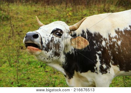 spotty cow cries loudly on the pasture