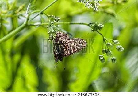 Zerynthia polyxena butterfly on a flower in nature