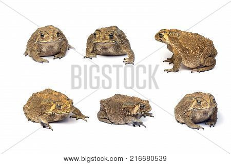 Asian common toad on white backgroundToad Isolated.