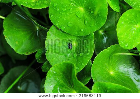 Centella asiatica non-toxic health food Insects on the water.
