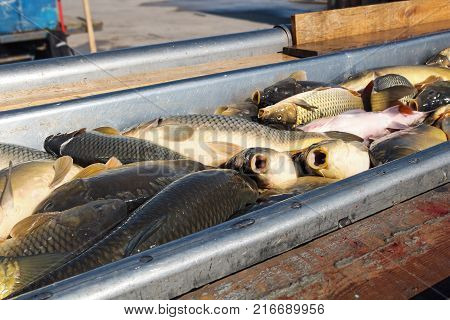 Fresh Fish For The Market. Unloading Fish Catch.  Fishermen Sorting Fish Catch. Fishing Industry.