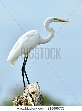 Great Egret and blue sky background. Ardea alba also known as the common egret large egret or (in the Old World) great white egret or great white heron.