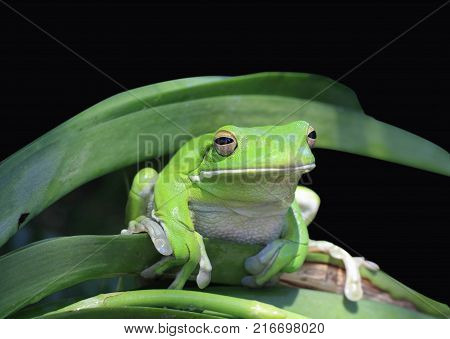tropical green frog on partial black background