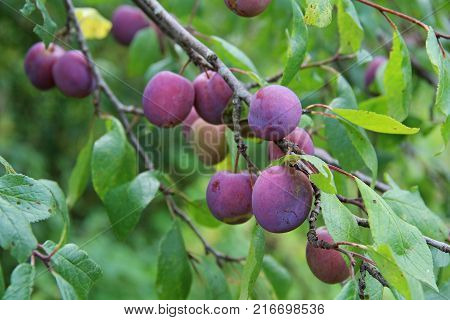 Plum purple with green leaves growing in the garden. Plum. Plum on branch. Plum ripe