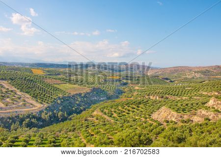 Olive trees in fields. Large olive plantations in the the mountains. Green fields full of olive trees. Crete Greece Europe