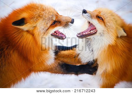 two red foxes fighting each other in winter snow at Zao fox village, Miyagi, Japan