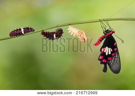 Common Rose (pachliopta Aristolochiae) Butterfly Life Cycle