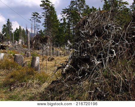 A forest through which the storm passed. Only broken and overturned trees remained. It was necessary to plant new trees.