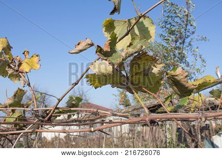 Vine are changing leaf color from green to yellow and orange during the fall season. Autumnal vineyard and blue sky