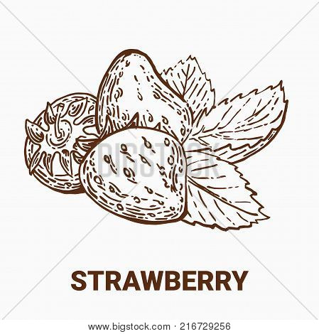 Illustration set of drawing strawberry. Hand draw illustration set for design. Vector engraving drawing antique illustration of strawberry with leafs.