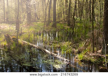 Spring forest. Wet european forest with standing water and dead trees partly declined. Swamp