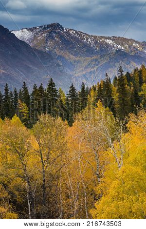 Autumn Altai. Yellowed trees against the backdrop of the mountains. Russia, the Altai Republic.