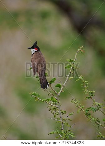 Red whiskered Bulbul bird from Mauritius in natural habitat