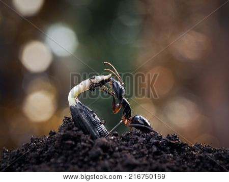 Insect gnawing the young shoots from seed.  ant Camponotus fellah