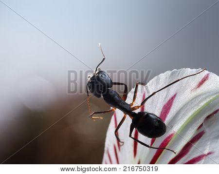 Beautiful  ant Camponotus fellah on the petal of a flower. Macro