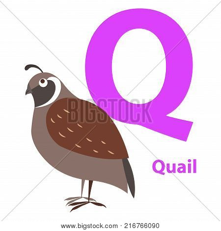 Brown quail on alphabet card with letter Q flat design on white background. Singing bird with ocher color on training image. Vector illustration of funny ABC for children in flat design cartoon style