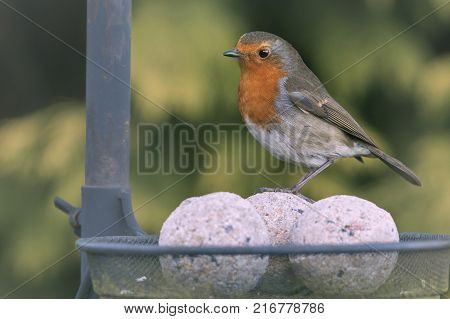 A closeup image of Wildlife and nature, with a Robin Red Breast Garden bird perching on a bird feeder.