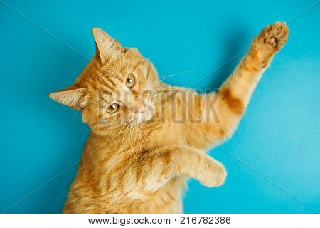 Smart long eared tabby cat with scornful look posing on blue background. Lovable pet friend with luxurious whiskers, poster with healthy feline for veterinary clinic
