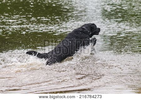 big black dog labrador retriever play with owner, adult purebred lab in summer green park near the water