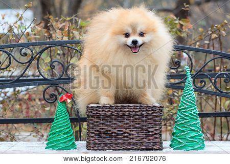 Cute pomeranian spitz is standing on a wicker basket. Pet animals.