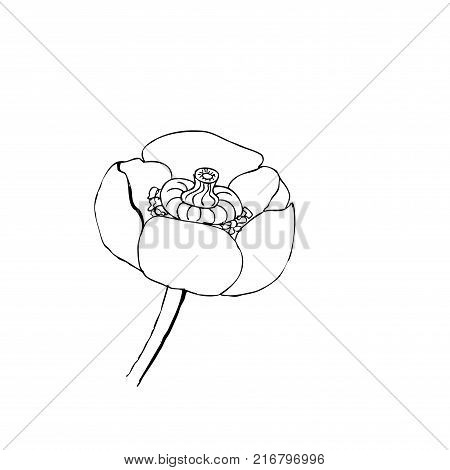 Liner  illustrations - Blooming yellow water-lily close up spatter-dock