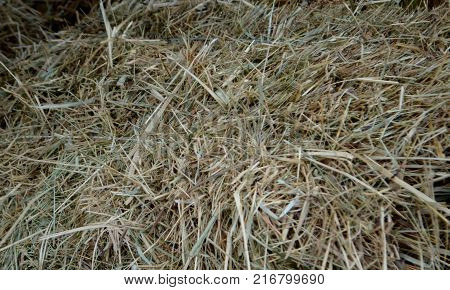 hay. fodder for livestock. Texture hay closeup in color. Fodder for livestock and construction material.
