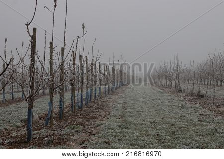 Hoar frost and fog at an agrucultural orchard