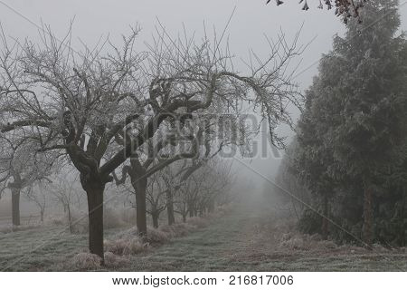 Leafless trees in a row on a foggy winter day with hoar frost creating a moody atmosphere
