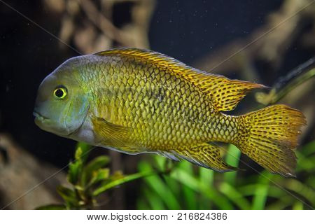 Moga (Hypsophrys nicaraguensis), also known as the nickie or parrot cichlid.